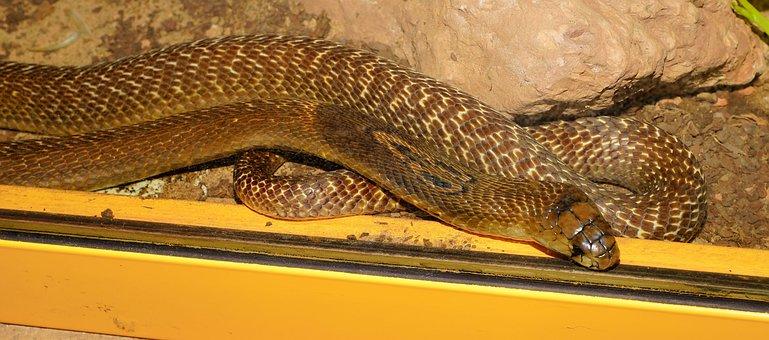 Snake, King Cobra, Beauty, Scheu, Venomous Snake