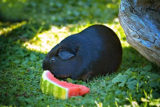 Guinea Pig, Smooth Hair, Black Tan, Black, Melon, Grass