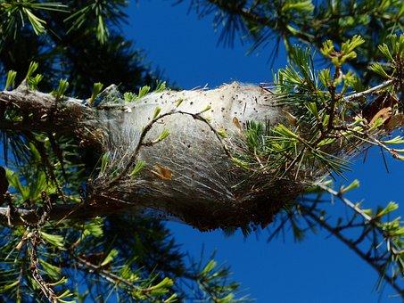 Spun Yarn, Nest, Track, Spun Nests, Pine Processionary
