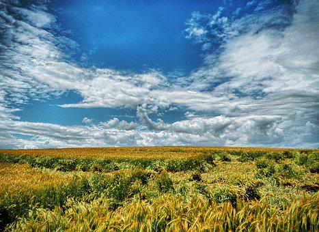 Field, Corn, Agriculture, Wheat, Nature, Summer, Sky