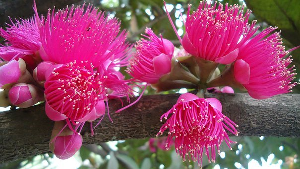 Syzygium, Rose Apple, Tree, Plant, Plants, Flower