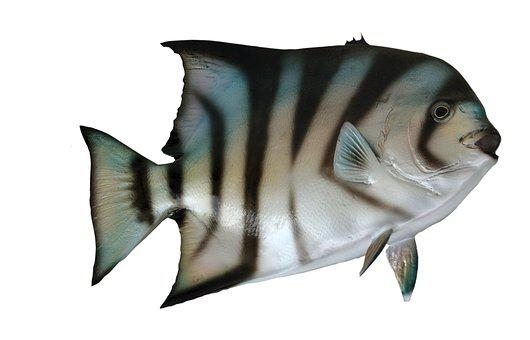 Mounted, Spade Fish, Fish, Taxidermy, Fishing, Wildlife
