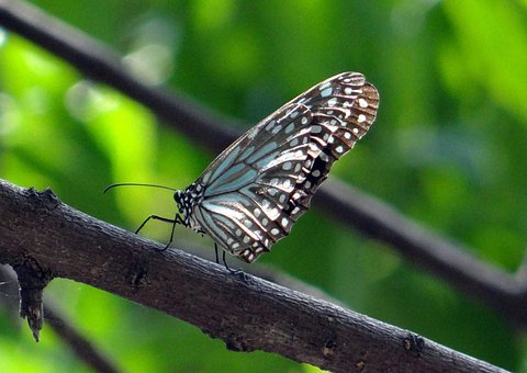 Blue Tiger, Butterfly, Tirumala Limniace, India, Insect