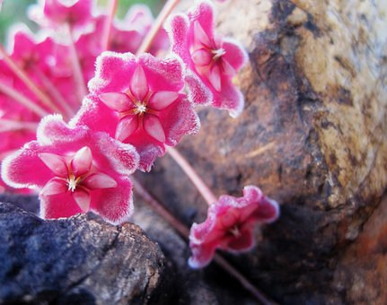 Flower Head, Florets, Pink, Wax-like, Velvety, Fragrant