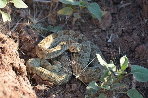 Rattlesnake, Reptile, Desert, Snake, Rattle, Venomous