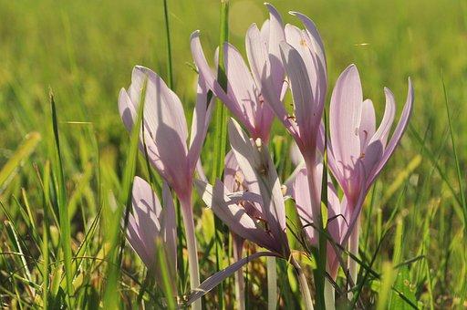 Herbstzeitlose, Blossom, Bloom, Flower, Violet, Autumn