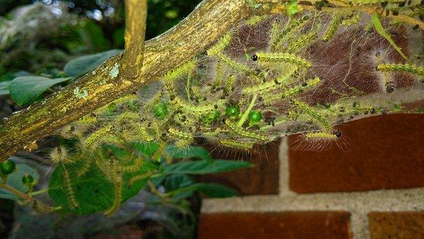 Fall Webworm, Web Worms, Webbed Nest, Webworm Nest