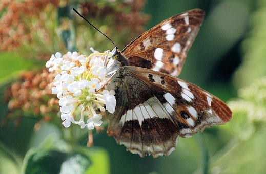 Fauna, Butterfly, Insect, Wildflower, Flower, Fragrant