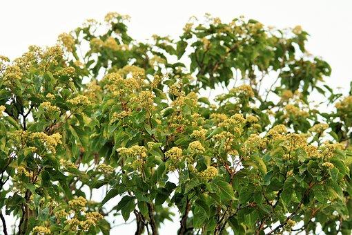 Wildflower, Flower, Japanese Raisin Tree, Tree