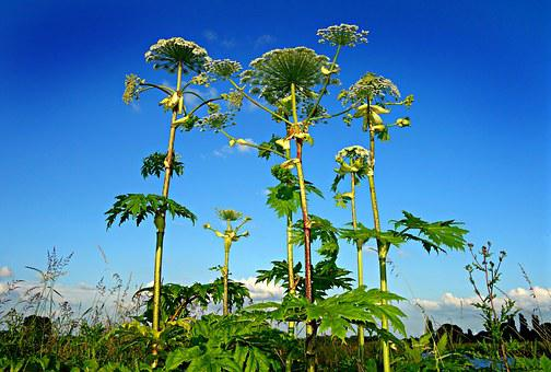Giant Hogweed, Plant, Heracleum, Wildflower, Poisonous