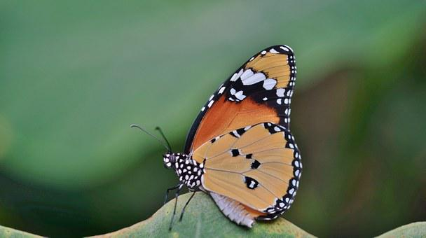 Yellow, Butterfly, Cocoon, Insect, Animal, Macro, Larva