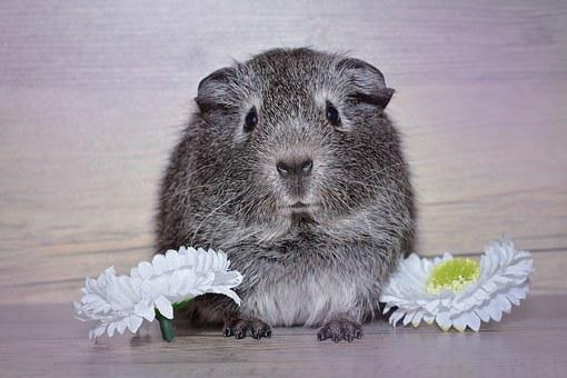 Guinea Pig, Young Animal, Black And White Agouti