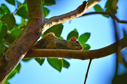 Squirrel, Wildlife, Animal, Mamal, Sri Lanka, Ceylon