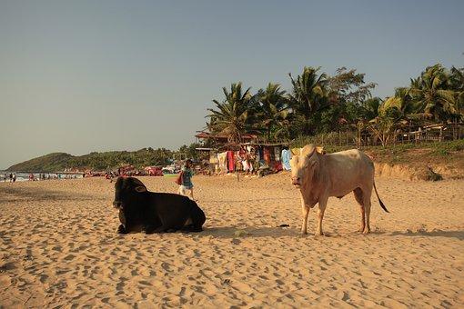 Cows, Beach, Goa, Sandy Coast, Animals, India