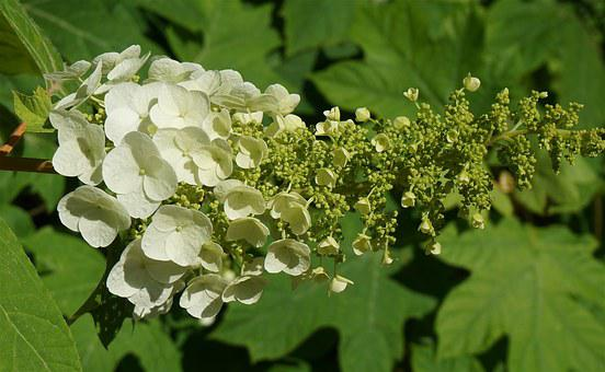 Oak Leaf Hydrangea, Hydrangea, Blossoms, Flower, Bloom