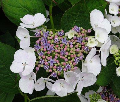 Blossom, Bloom, Hydrangea, Close Up, White, Blue, Pink