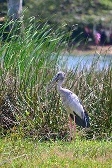 Crane, Gray Crane, Tall Crane, Big Crane, Bird, Fishing