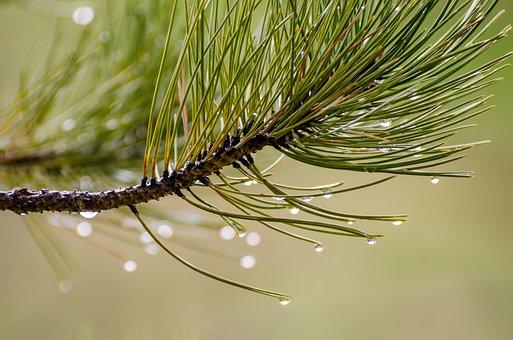 Pine Needles, Water Drops, Droplets, Pine, Needles