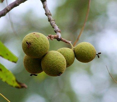 Juglans Nigra, Eastern Black Walnut, Black Walnuts