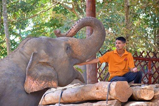 Feeding Elephant, Elephant, Jumbo, Strong, Feeding