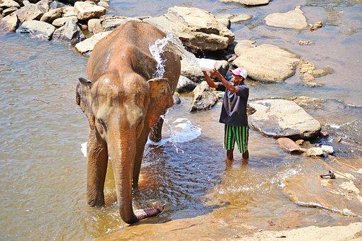 Elephant, Bath, Maha Oya River, Sri Lanka, Pinnawala