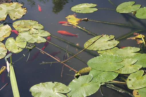 Fish, Red, Nature, Green, Summer, Lake, Leaves