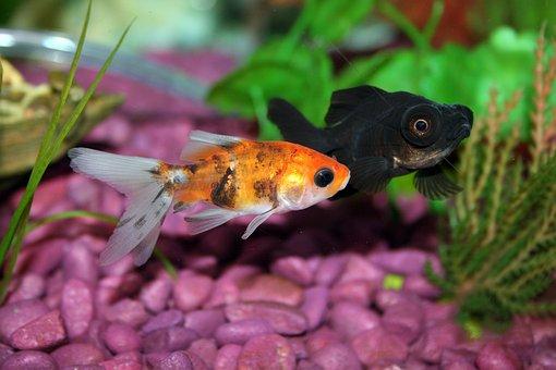 Goldfish, Fish, Aquarium, Underwater, Fishbowl, Water
