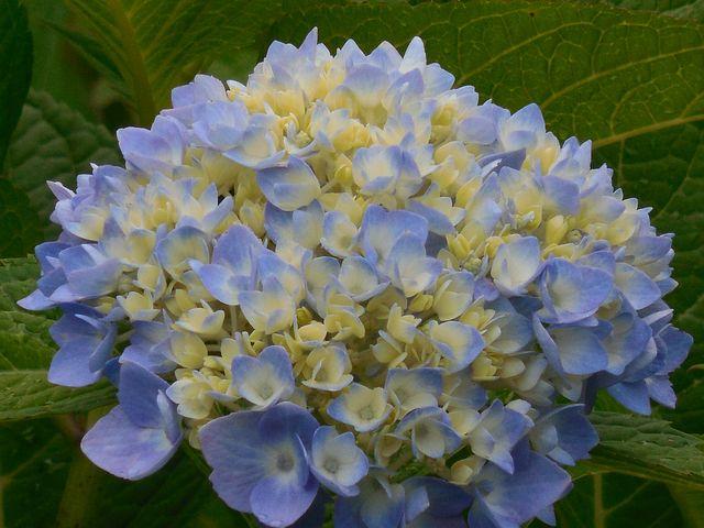 Hydrangea, Blue, White, Flower, Summer, Blossom, Nature