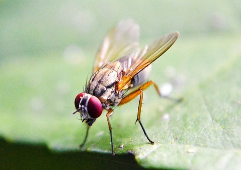Fruit Fly, Fly, Inset, Wings, Flying, Leaf, Sri Lanka