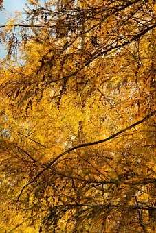 Fall Color, Yellow, Golden, Leaves, Needles, Tap