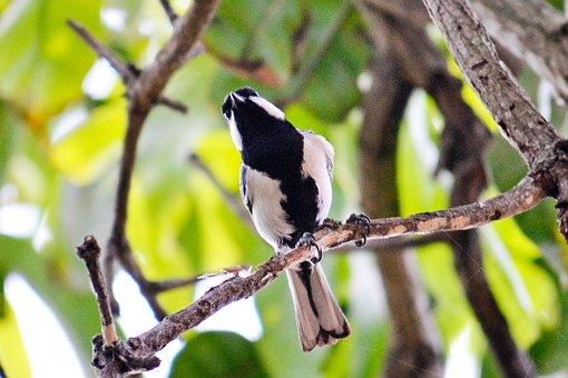 Great Tit, Tiny Bird, Active Bird, Energetic Bird, Fly