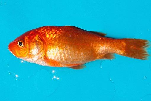 Goldfish, Freshwater Fish, Karpfenfisch, Android