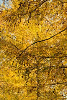 European Larch, Tree, Larch, Larix Decidua, Fall Color