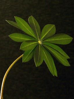 Lupin Leaf, Macro, Leaf, Lupine, Plant, Leaf Structure