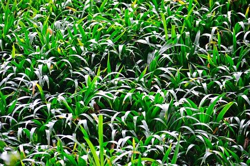 Grass, Light, Green, Plants, Vegetation, Sri Lanka