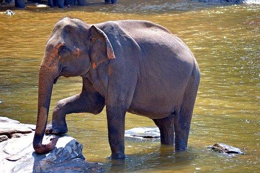 Pegnent Elephant, Elephant, Mom Elephant