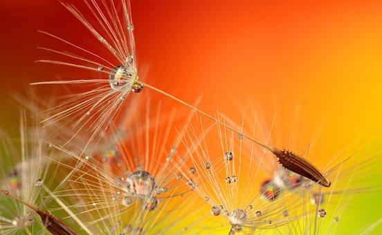 Dandelion, Droplets, Nature, Macro, Plant, Seed, Water