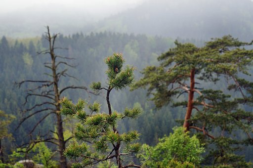 Pine, Old, Died Medium, Needles, Growth, Forest