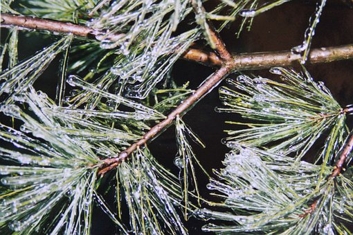 Pine, Pine Needles, Ice Tank, Frozen, Iced