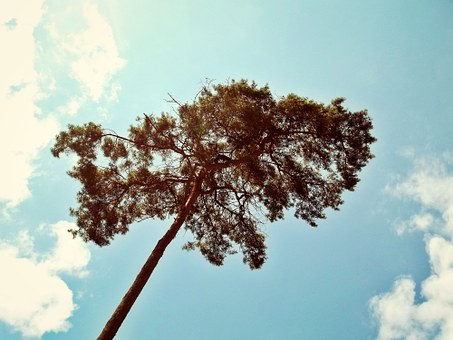 Tree, Pine, Nature, Needles, Lonely, Arid, Plant