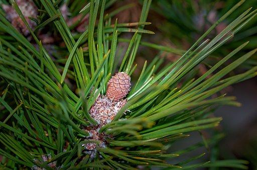 Pine, Plant, Branch, Needles, Dwarf Pine, Nature, Tree