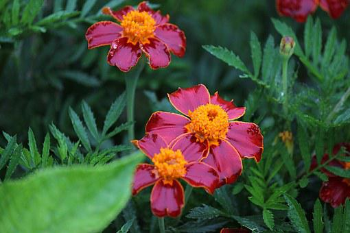 Marigold, Fukushima, Rain, Red-purple Flowers