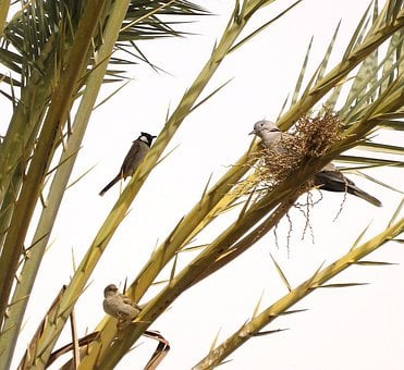 Tree, Date Palm, Branch, Birds, Perched, Dove, Sparrow