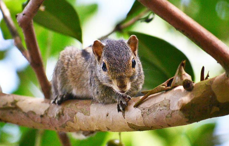 Squirrel, Animal, Mamal, Pest, Wildlife, Sri Lanka