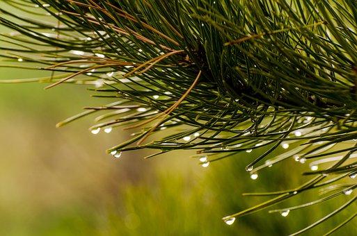 Pine Needles, Water Drops, Droplets, Water Drop, Pine