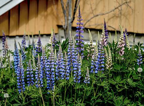 Lupine, Flower, Summer, Nature, Purple, Wild, Blossom
