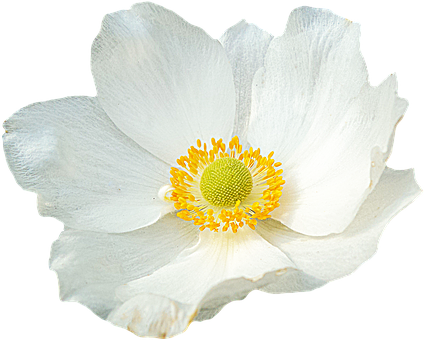 Png, Clipping, Flower, Graphics, Anemone