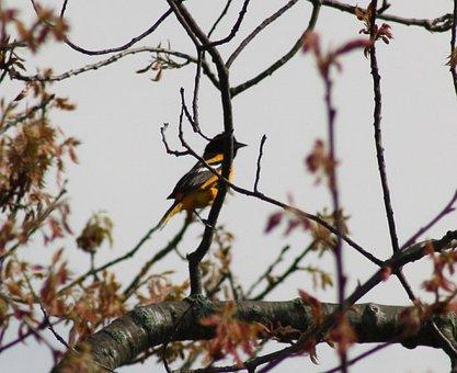 Oriole, Bird, Songbird, Nature, Wildlife, Baltimore