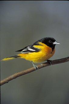 Branch, Oriole, Baltimore, Birds, Animals, Fauna