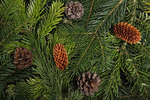 Branch, Christmas, Cone, Evergreen, Forest, Green